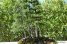 Bonsái Sabina Albar Juniperus thunifera