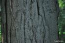 Acacia de tres espinas