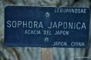 Acacia del Japón