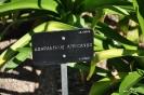Agapanthus africanus Lírio Africano