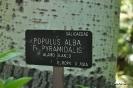 Alamo Blanco Pupulus Alba