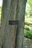 Almez Celtis australis, aligonero o latonero