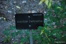 Aquilequia Chrysantha_1
