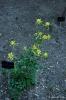 Aquilequia Chrysantha_3