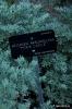 Artemisia Arborescens powis castle