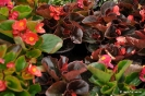 Begonias_3