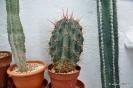 Cactus en Honrubia_4