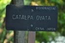 Catalpa Ovata