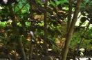 Continus coggygria purpureus_10