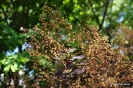 Continus coggygria purpureus