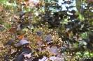 Continus coggygria purpureus_13