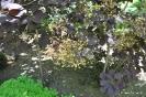 Continus coggygria purpureus_17