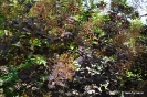 Continus coggygria purpureus_4