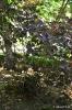 Continus coggygria purpureus_8