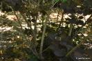 Continus coggygria purpureus_9