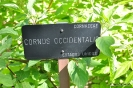 Cornus Occidentalis
