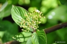 Cornus Occidentalis