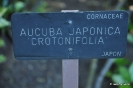 Crotonifolia Aucuba Japonica_1