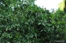 Crotonifolia Aucuba Japonica_3