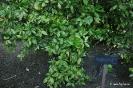 Crotonifolia Aucuba Japonica_4