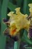 Iris Delirium