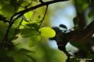 Kolkwitzia Amabilis_19