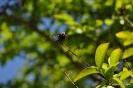 Kolkwitzia Amabilis_25