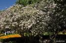 Kolkwitzia Amabilis_2