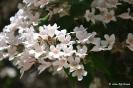 Kolkwitzia Amabilis_5