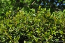 Laurel en Botánico