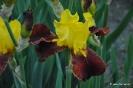 Narcissus Ltzim