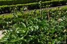 Paeonia Lactiflora Peonía_17