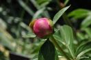 Paeonia Lactiflora Peonía_20