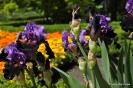 Paeonia Lactiflora Peonía_4