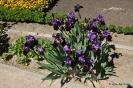 Paeonia Lactiflora Peonía_5