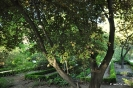 Pisardii Prunus cerasifera_3