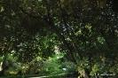 Pisardii Prunus cerasifera_4