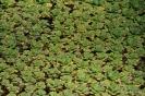 Plantas Acuáticas_11