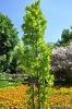 Quercus Robur Fastigiata_2