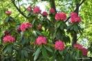 Rhododendron Arboreum_10