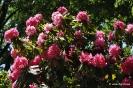Rhododendron Arboreum_11
