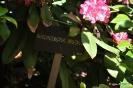 Rhododendron Arboreum_1