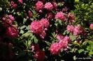 Rhododendron Arboreum_2