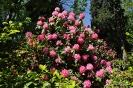 Rhododendron Arboreum_3
