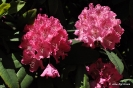 Rhododendron Arboreum_4