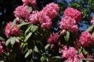 Rhododendron Arboreum_5