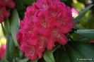 Rhododendron Arboreum_8