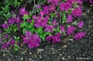 Rhododendron Blue Danube_4