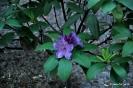 Rhodedendron catawbiense boursault_2