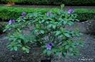Rhodedendron catawbiense boursault_3